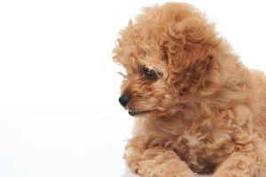 Golden color poodle puppy