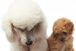 Poodle puppy sit with mom