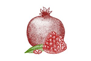 Pomegranate Hand Draw Sketch. Vector