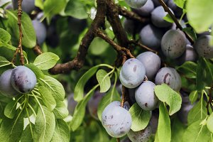 Ripe plums on a tree
