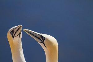 2 Northern gannets