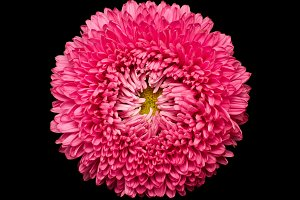 pink aster isolated on black