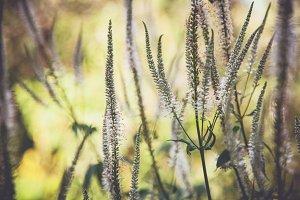 iseeyouflower Veronicastrum