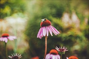 iseeyouflower coneflower 1