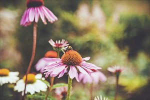 iseeyouflower coneflower 2