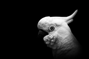 White cockatoo on a black background