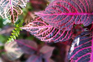 Broken red coleus and fern