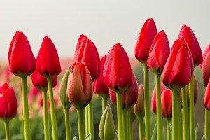 Row of red tulips with green stems