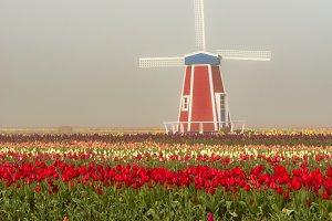 Decorative windmill in the tulip field