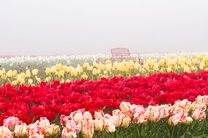 Blooming tulip fields in the fog