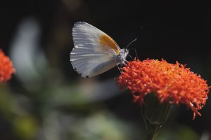 White butterfly drinking nectar