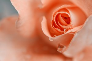 Pink rose, closeup.