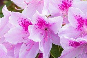 Pink azalea bush in bloom