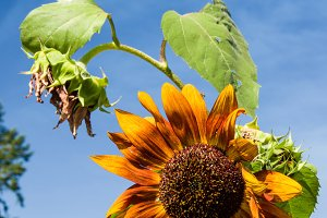 Orange sunflower with blue sky