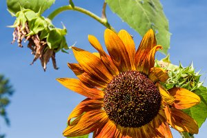 Orange sunflowers blooming