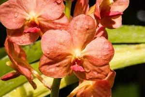 Orange orchid blossom