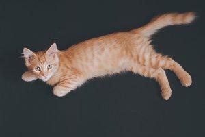 Little orange domestic kitten