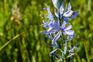 Native wildflower blue camas