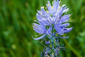 Blue native camas flower
