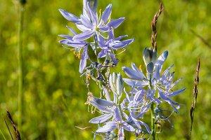 Native blue Camas