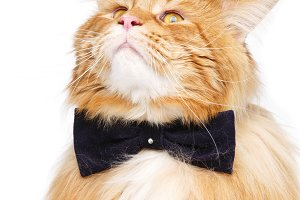 Beautiful maine coon cat with bow tie