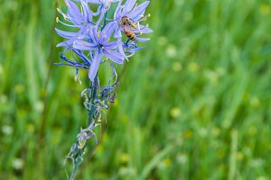 Camassia with honey bee