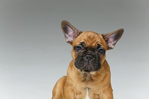 cute french bulldog puppy
