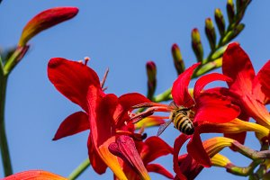 Red crocosmia with honey bee