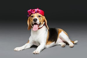 beautiful beagle dog in pink hat
