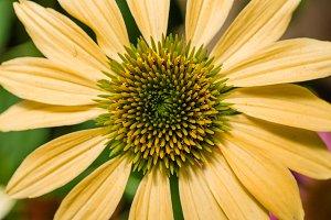 Yellow echinacea flower