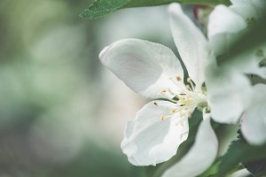 Beautiful apple tree blooming