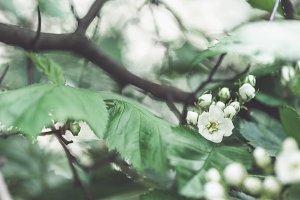 Beautiful hawthorn tree blooming