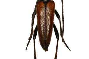 Longhorn Beetle Stenurella