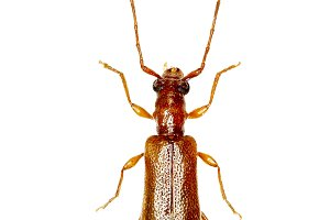 Brown Longhorn Beetle Obrium