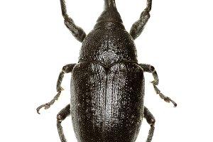 True Weevil Larinus