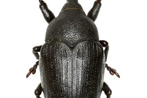 True Weevil Larinus
