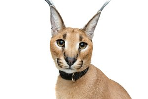 Beautiful caracal lynx isolated on white