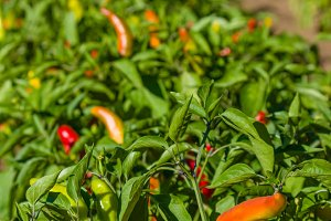 Row of pepper plants