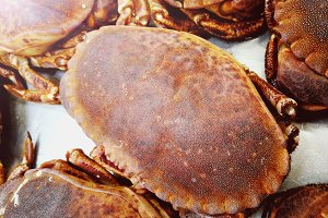 Edible crab or brown crab