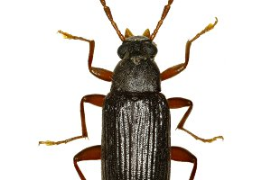 Comb-clawed Beetle Allecula