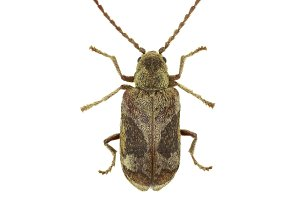 Death Watch Beetle Ptinomorphus