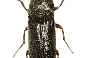 Click Beetle Melanotus