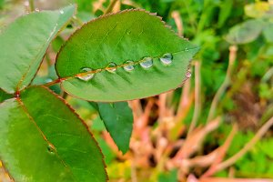 Water Drops On Rose Leaf