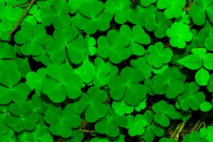 Background From Green Clover Leafs
