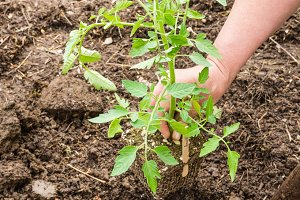 Planting a new tomato plant