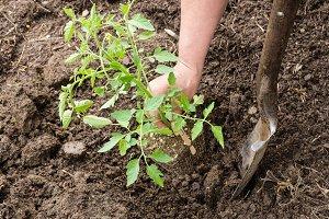 Gardener planting a tomato