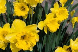 Yellow daffodils in full bloom