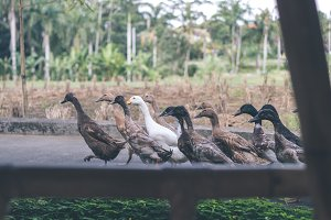 Ducks on a tropical background of Bali island, Indonesia.