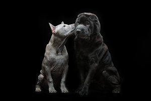 Beautiful dogs kissing on black background