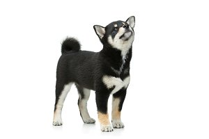 Beautiful shiba inu puppy isolated on white
